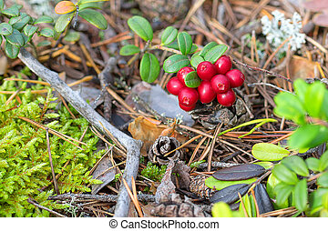 red ripe bilberry