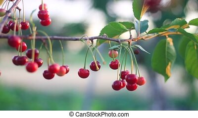 red ripe cherries sway in the wind, fruits