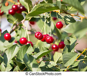 Red ripe cherry on a tree in the nature