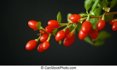 red ripe goji berry on a branch isolated on a black...
