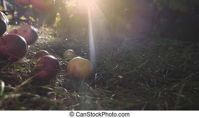 Red Ripe Juicy Apples Falling on Green Grass. Slow motion -...