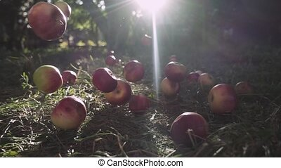 Red Ripe Juicy Apples Falling on Green Grass. Time to Harvest in the Fruit Garden Or Apple Orchard In the Autumn on a Sunny Day. Slow motion