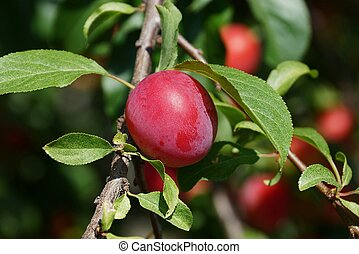 red ripe plum on a branch with green leaves