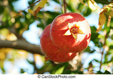 Red ripe pomegranate fruit on tree branch in the garden.
