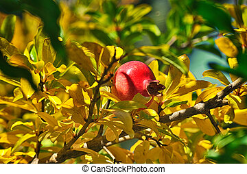 Red Ripe pomegranate on a tree. Growing garnet