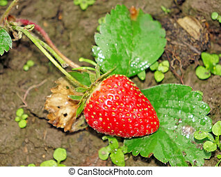 Red ripe strawberry on a bed in the garden