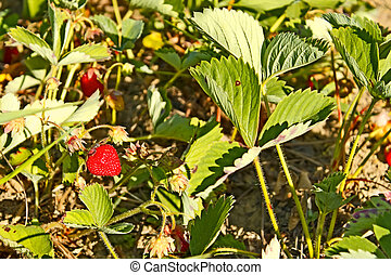 Red ripe strawberry on the garden