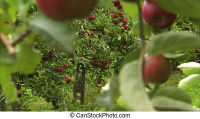 Red ripe sweet apples - A moving shot of apples hanging on...