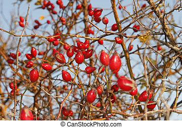 Red ripe sweetbrier berries