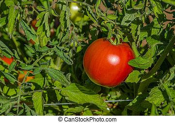 Red ripe tomato on the vine