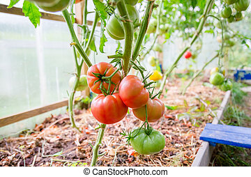 Red ripe tomatoes hang on a branch