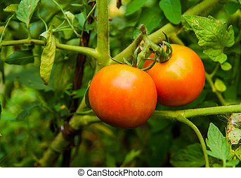 red ripe tomatoes on a branch