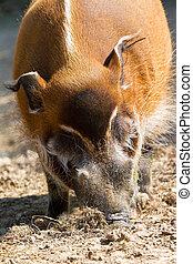 Red river hog close up - The red river hog Potamochoerus...