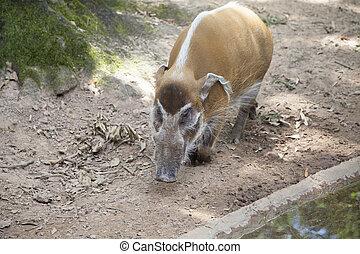 Red River Hog - Close up of a red river hog (Potamochoerus...