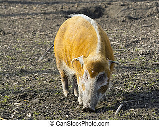 Red river hog (Potamochoerus porcus) in a forest