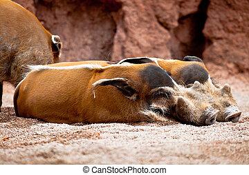 Red River Hog, Potamochoerus porcus pictus - Several...