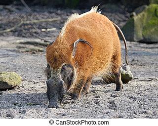 Red river hog (Potamochoerus porcus) - Red river hog looking...