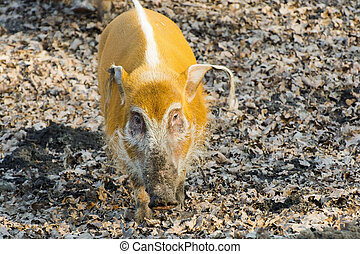 Red river hog (Potamochoerus porcus) in the forest