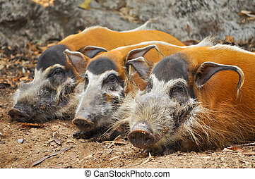 Red river hogs are omnivores and in the wild, eat a variety...