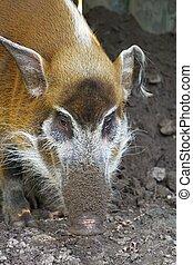 red river hog - potamochoerus porcus, photo