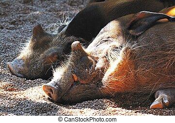 Red River Hogs. - Red River Hogs (Potamochoerus Porcus)...