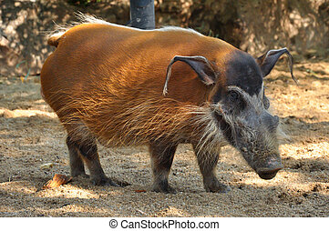 Red river hogs will live in a variety of habitats as long as...