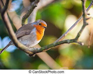 red robin bird on a tree branch