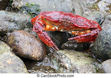 Red Rock Crab at Low Tide - A Red Rock Crab crawling away at...