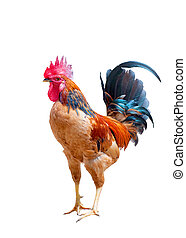 red rooster isolated over white background
