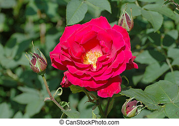 Red Rose and 3 buds