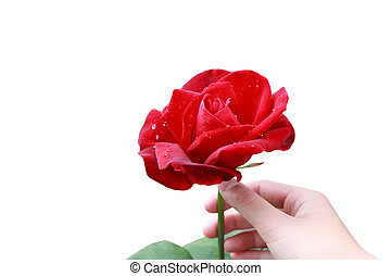 Red Rose and Hand