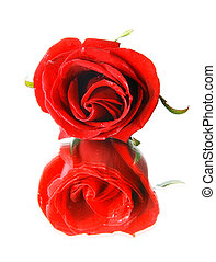 red rose and its reflection over white