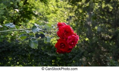 red rose and summer watering