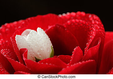 Red Rose and White Jasmine Flower with Dew Drops Close-Up