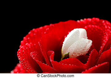 Red Rose and White Jasmine Flower with Water Drops on Black