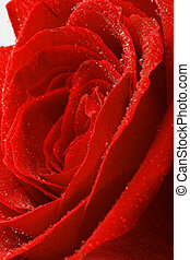 Red rose. Background