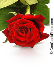 red rose, background