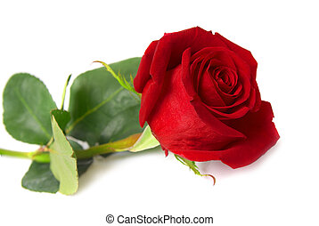 Red rose - Beautiful red rose isolated on white background