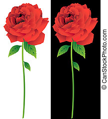 Red Rose Bloom Stem - Vibrant red rose bloom isolated on...