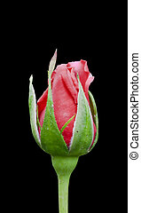 Red Rose Bud - Closeup of a red rose bud isolated on black ...