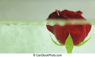Red rose bud in running water.Full hd video - Red rose bud...