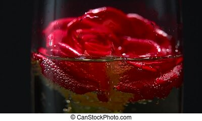 Red rose bud lies in a glass of champagne. Black background. Close up