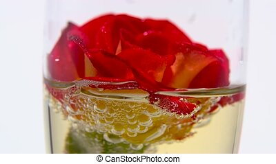 Red rose bud lies in a glass of champagne. White background....