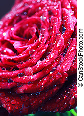 red rose bud macro drop