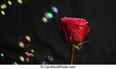 Red rose bud on a black blurred background. Soap bubbles fall on a flower. close-up. air bubbles. beautiful soft vertical rose.