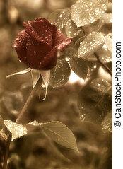 red rose bud red rain drops
