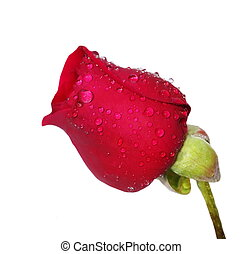 red rose bud with water drops