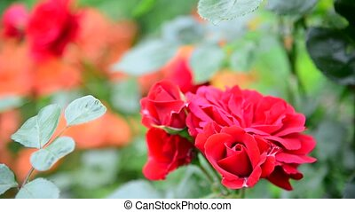 red rose bush in flowerbed - Beautiful red rose bush in a...