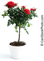Red rose bush, isolated