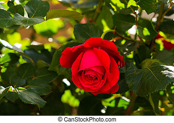 Red rose close-up in the garden. Beautiful floral background.